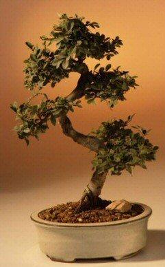 Bonsaiboy Chinese Elm Bonsai Tree - Large Curved Trunk Style Ulmus Parvifolia by Bonsai Boy