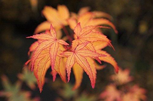 Murasaki Kiyohime Japanese Maple 2 - Year Live Plant