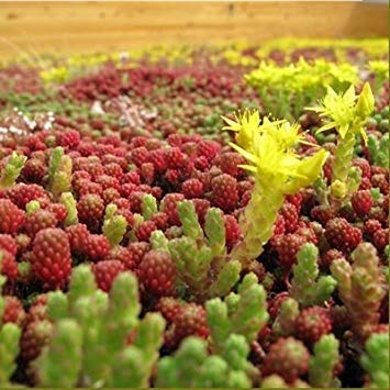 Sedum Mixed Seeds - Green Roof - 100 Seeds
