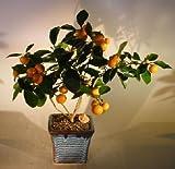 Bonsaiboy Orange Citrus Bonsai Tree Calamondin Orange