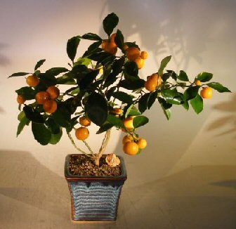 bonsaiboy-orange-citrus-bonsai-tree-calamondin-orange