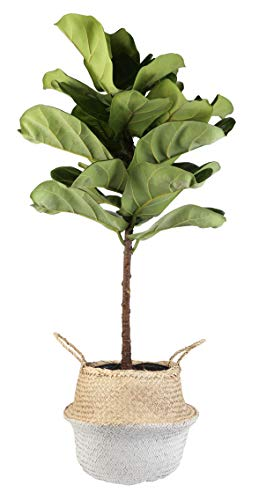 Costa Farms Live Ficus Lyrata, Fiddle-Leaf Fig, Floor Plant, 4-Feet Tall, Ships in Seagrass Basket, White-Natural, Fresh From Our Farm
