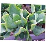 TEE 1 Bare Root Medium Succulent Plant. Ripple Jade - RK69