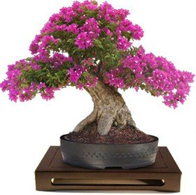 Myrtle Bonsai - Heirloom 100 Seeds Lagerstroemia Crape Myrtlette Crepe Myrtle Dwarf Shrubs Bonsai Red Bulk Seeds B0084
