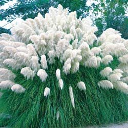 White Pampas Grass 200 Seeds - Cortaderia