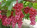 buy GiAnT~(Seedless)~Pink Reliance GRAPE Seed~1 Seed ONLY now, new 2018-2017 bestseller, review and Photo, best price $3.99