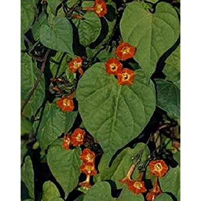 Morning Glory Ipomoea Sunspots Annual Seeds : Garden & Outdoor