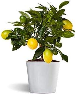 Calamondin - naranjo enano de interior - cítricos comestibles ...
