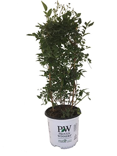 Proven Winners 19814 Sweet Summer Love Autumn Clematis Flowering Plant, 1 Gallon -
