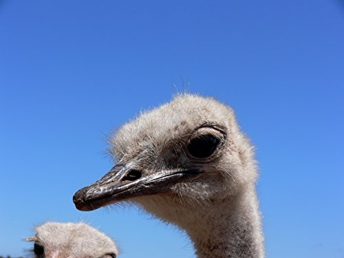 Home Comforts LAMINATED POSTER Ostrich Head Close Up Animals