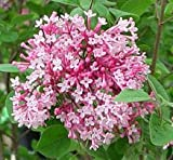 Syringa Tinkerbelle, Pink Lilac Potted Plant, Beautiful Flowering Perennial