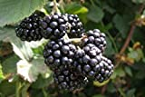 1 Marionberry plant live rootedplants Organic. Zones 5-10. Not dormant