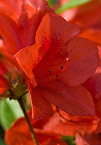 3 Gallon - Encore Azalea Autumn Bravo - Re-Blooming Evergreen Shrub With Red Blooms