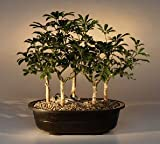 Bonsai Boy's Hawaiian Umbrella Bonsai Tree<br>Five Tree Forest Group<br><i>(arboricola schefflera)</i>