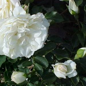 rose 39 white meidiland 39 2 gallon potted. Black Bedroom Furniture Sets. Home Design Ideas