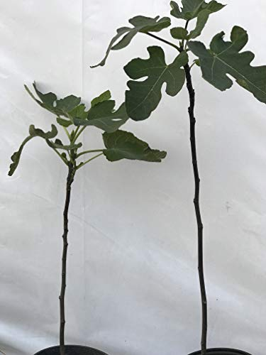 2 Live Brown Turkey Fig Trees Planting Guide Included, Non GMO Plants, No Systemic Pesticides, No Harmful Sprays, Naturally Grown, Ficus Carica, Large Roots, Edible Landscape