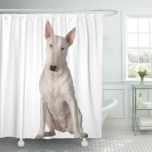 - Emvency Fabric Shower Curtain with Hooks Animal Bull Terrier Sitting in Front of White Breed Canine Courageous Cut Out Defender 72