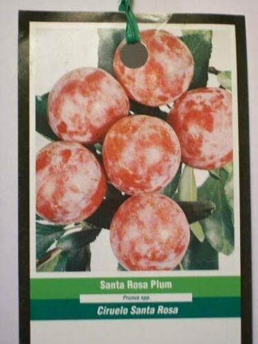 4'-5' Santa ROSA Plum Fruit Tree Plant Best Plums Trees Ship to All 50 States US