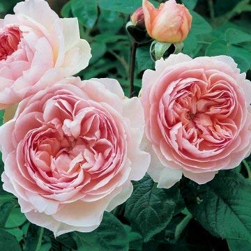 David Austin English Roses Gentle Hermione by David Austin English Roses (Image #1)