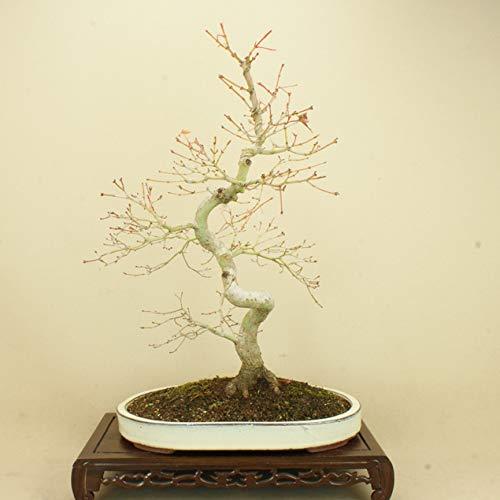 山モミジ 中品盆栽 (いよじ園) B07LCDSRJL