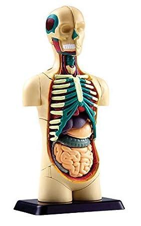 Human Body Anatomy Model- Small Torso (12.7 cm)- 32 pcs Build your ...