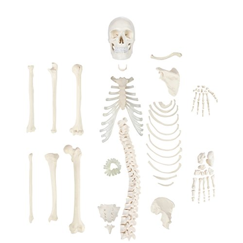 Axis Scientific Half Disarticulated Human Skeleton with 3-Part Human Skull, Hand, Foot, Anatomical Life Size Bones and More Anatomy | Includes Detailed Product Manual | 3 Year Warranty