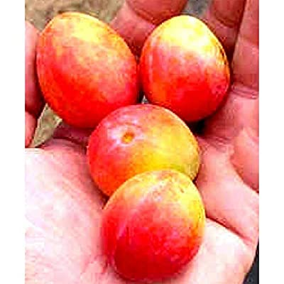 Prairie Red Plum Fruit Tree Seedling Hardy Edible Red-Yellow Plums Live Plant #BK05