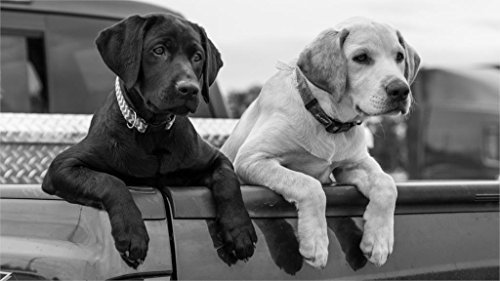 Ryan Beers Animals labrador retriever dogs puppy paws body black and white 4' Size Home Decoration Canvas Poster Print