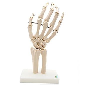"Hand And Wrist Skeleton Model,Kouber Human Anatomical Model,Life Size,3"" X 5"" X 10"" by Kouber Science"