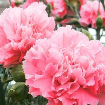 Outsidepride Carnation Rose - 1000 Seeds