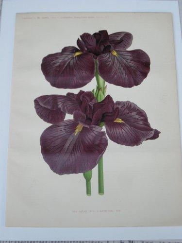 The Japan Iris (Iris Kaempferi Var.) 187 - Lithograph Iris Shopping Results