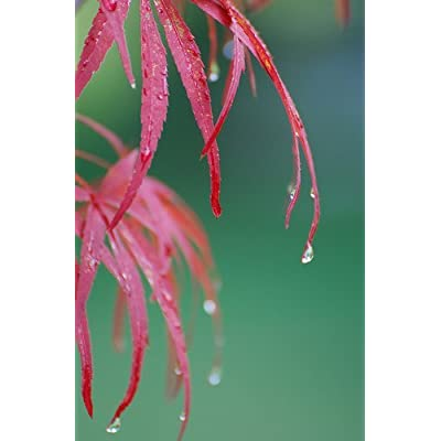 Red Pigmy Japanese Maple 4 - Year Live Plant: Toys & Games