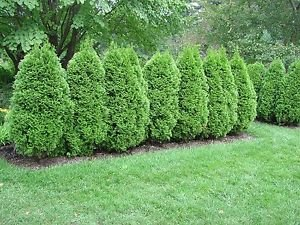 Emerald Green Arborvitae Thuja occidentalis Rooted Conife...