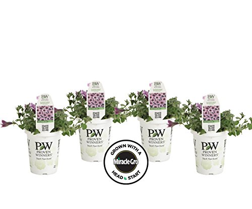 4-pack Proven Winners Supertunia Bordeaux Grown with Miracle-Gro Head Start Fertilizer (Petunia) Live Plant, Light Purple Flowers with Deep Plum Veins, 4.25 in. Grande