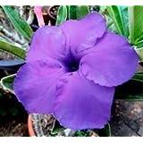 Wüstenrose (Adenium obesum) 5 Samen Moung Hawaii