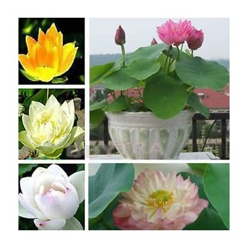 Amazon hot sale 10pcs lotus seeds 8 kinds bowl mixed colors 12 aquatic water lily seeds mixed colors lotus plant mightylinksfo