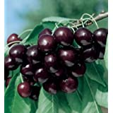 Sweet Black Tartarian Cherry Tree Seeds - 20 Cherry Seeds - Qualityseeds4less Exclusive by Qualityseeds4less