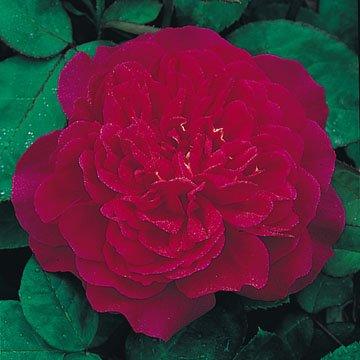 David Austin English Tree Rose Sophy S Rose