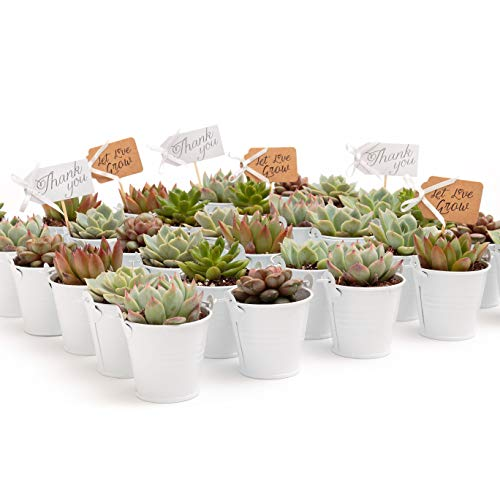 2 in. Wedding Event Rosette Succulents with White Metal Pails and Thank You Tags (30)]()