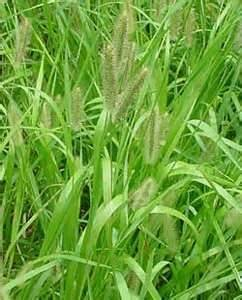 Creeping Foxtail Grass Seed (Garrison, Coated) - 1 Pound - Wizard Seed LLC