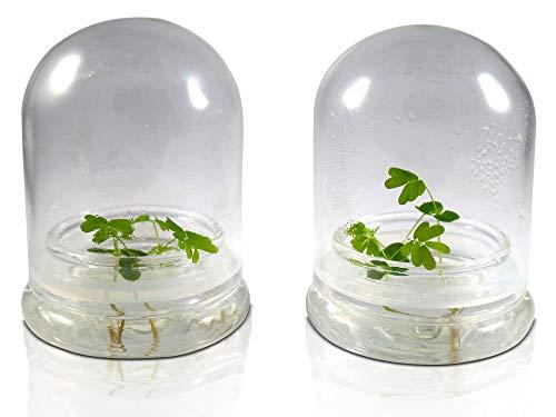 (Sensitive Plant - Self Grow, Maintenance Free- Mimosa pudica - 4