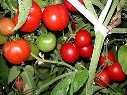 Creole Tomato Seeds - 125 Seeds Non-GMO