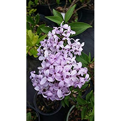 (Liner) 'Palabin' Lilac, (Dwarf Korean) - Compact Shrub with Lavender to Blue, Sweetly Fragrant Single Flowers, in Dense Clusters in May and June. : Garden & Outdoor