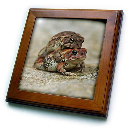 3dRose Stamp City - Amphibian - Macro Photograph of a Toad Getting a Piggy or Toady Back Ride. - 8x8 Framed Tile (ft_316768_1)