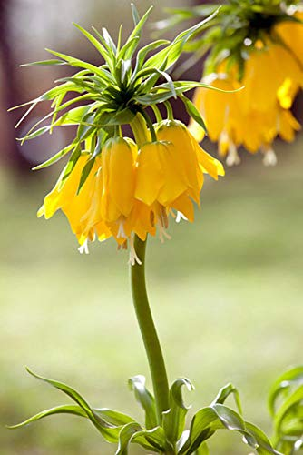 (Yellow Crown Imperial Lily 1 Bulb - Fritillaria Lutea- 20/24 cm Bulb )