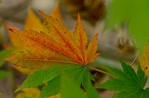 Korean Maple - Tolerates Extreme Cold, Surviving In Climates Where Japanese Maples Cannot, Hardy to -40F - 2 Year Live Plant by Japanese Maples and Evergreens (Image #7)