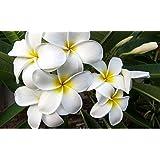 Kanoa Hawaii Hawaiian White Plumeria Plant Cutting ~ Grow Hawaii