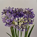 Agapanthus (Lily Of The Nile) praecox Headbourne 100 seeds