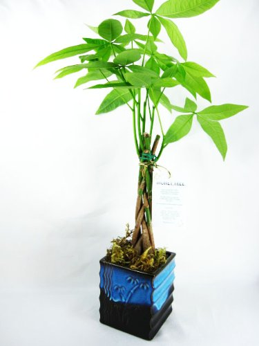 9GreenBox - 5 Money Tree Plants Braided Into 1 Tree - 4'' Ceramic Pot by 9GreenBox.com
