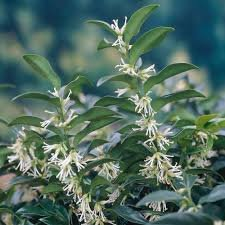 Amazon Quart Sarcococca Fragrant Sweet Box Beautiful Shrub
